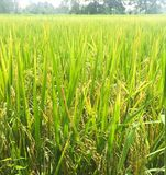 Rice fields. Suburban rice fields outdoor upcountry thailand Stock Photography