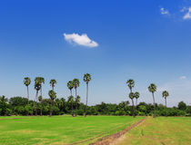 Rice fields, sugar palm. Stock Photos