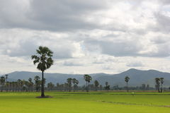 Rice fields and Sugar palm. Palm middle of the green fields in the evening Stock Photos