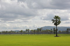 Rice fields and Sugar palm. Palm middle of the green fields in the evening Royalty Free Stock Photography