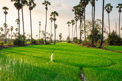 Rice fields with sugar palm tree at sunset Royalty Free Stock Photos