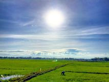 Rice fields. Sun countryside paddies landscape Stock Photo