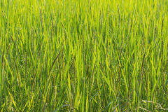 Rice on fields Royalty Free Stock Image