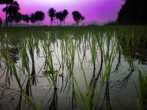 Rice fields at sunset evening light. Stock Photos