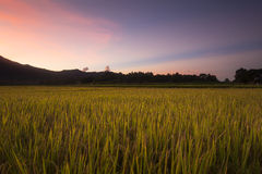 Rice fields at sunset in Lampang, Thailand Stock Image