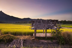 Rice fields at sunset in Lampang, Thailand Royalty Free Stock Image
