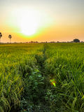 Rice fields in sunset Royalty Free Stock Photos