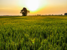 Rice fields in sunset Royalty Free Stock Images