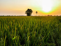 Rice fields in sunset Stock Photography
