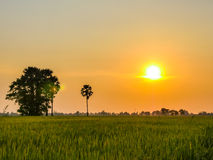 Rice fields in sunset Stock Images