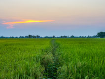Rice fields in sunset Stock Photos