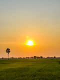 Rice fields in sunset Royalty Free Stock Photography