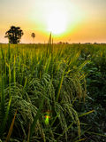 Rice fields in sunset Stock Image