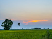 Rice fields in sunset Royalty Free Stock Image