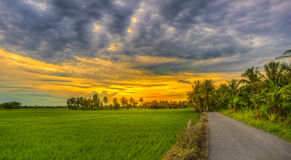 Rice fields on sunset Royalty Free Stock Image