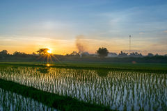 Rice fields and sunset Stock Photo