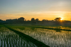 Rice fields and sunset Royalty Free Stock Photo