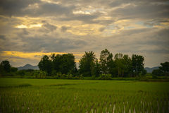 Rice fields Sunsets Royalty Free Stock Photos
