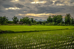 Rice fields Sunsets Royalty Free Stock Image