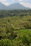 Rice fields at the Tabanan Regency in Bali. With the background of the Batukau mountains royalty free stock photography