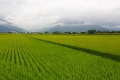 The Rice fields in Taiwan. The Rice fields is on terraced of Chishang township in northeast Taiwan. The harvest scene is at the foot of the Central Mountain royalty free stock photos