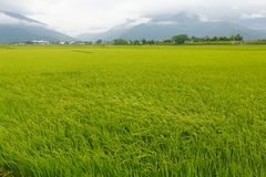 The Rice fields in Taiwan. The Rice fields is on terraced of Chishang township in northeast Taiwan. The harvest scene is at the foot of the Central Mountain stock photo