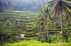 Rice fields terrace, Indonesia, Bali Stock Photos