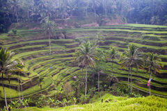 Rice fields terrace, Indonesia, Bali Royalty Free Stock Photos