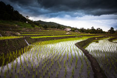 Rice fields on terraced. Royalty Free Stock Photography
