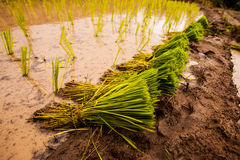 Rice fields on terraced. Royalty Free Stock Images