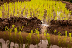 Rice fields on terraced. Royalty Free Stock Photos