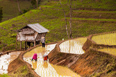 Rice fields on terraced. Stock Image
