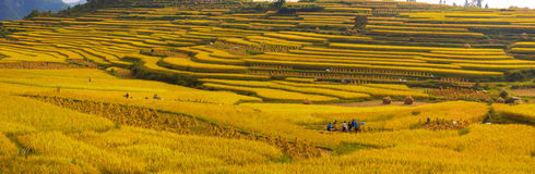 Rice fields on terraced in Autumn Royalty Free Stock Image