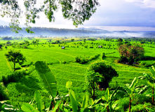 Rice fields on terraced of Bali Royalty Free Stock Photography