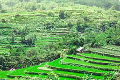 Rice fields on terraced of Bali Stock Photos