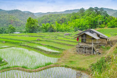 Rice fields on terraced of Ban Mae Klang Luang, Doi Inthanon ,Ch Royalty Free Stock Photo