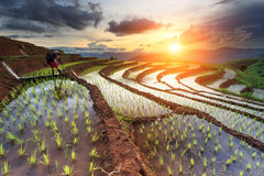 Rice fields on terraced at Chiang Mai, Thailand Royalty Free Stock Image