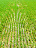 Rice fields Royalty Free Stock Photo