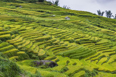Rice fields on terraced. Mountain farm landscapes Lao Cai province Sapa Viet Nam Northwest Vietnam Stock Photography