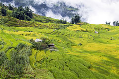 Rice fields on terraced Royalty Free Stock Image