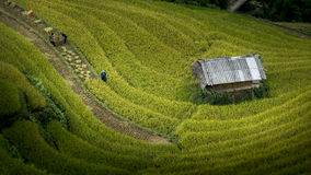 Rice fields on terraced of Mu Cang Chai Stock Image