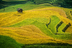 Rice fields on terraced Stock Image