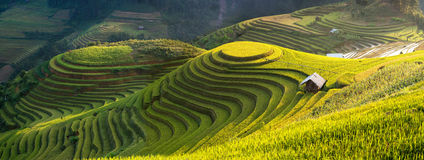 Rice fields on terraced of Mu Cang Chai, YenBai, Vietnam. Rice fields prepare the harvest at Northwest Vietnam Royalty Free Stock Photo