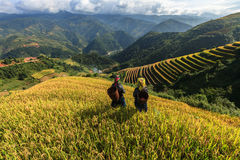Rice fields on terraced of Mu Cang Chai, YenBai, Vietnam. Stock Photos