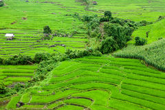 Rice fields on terraced of Mu Cang Chai, YenBai, Vietnam. Rice f Royalty Free Stock Images