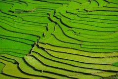 Rice fields on terraced in rainny season at SAPA, Lao Cai, Vietnam. Royalty Free Stock Photo