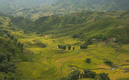 Rice fields on terraced of SAPA, Vietnam. Rice fields prepare the harvest at Northwest Vietnam. Royalty Free Stock Photography