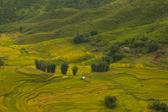 Rice fields on terraced of SAPA, Vietnam. Rice fields prepare the harvest at Northwest Vietnam. Royalty Free Stock Photos