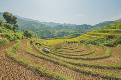 Rice fields on terraced Royalty Free Stock Photos