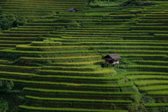 Rice fields on terraced in sunset at Mu Cang Chai, Yen Bai, Vietnam. Royalty Free Stock Images